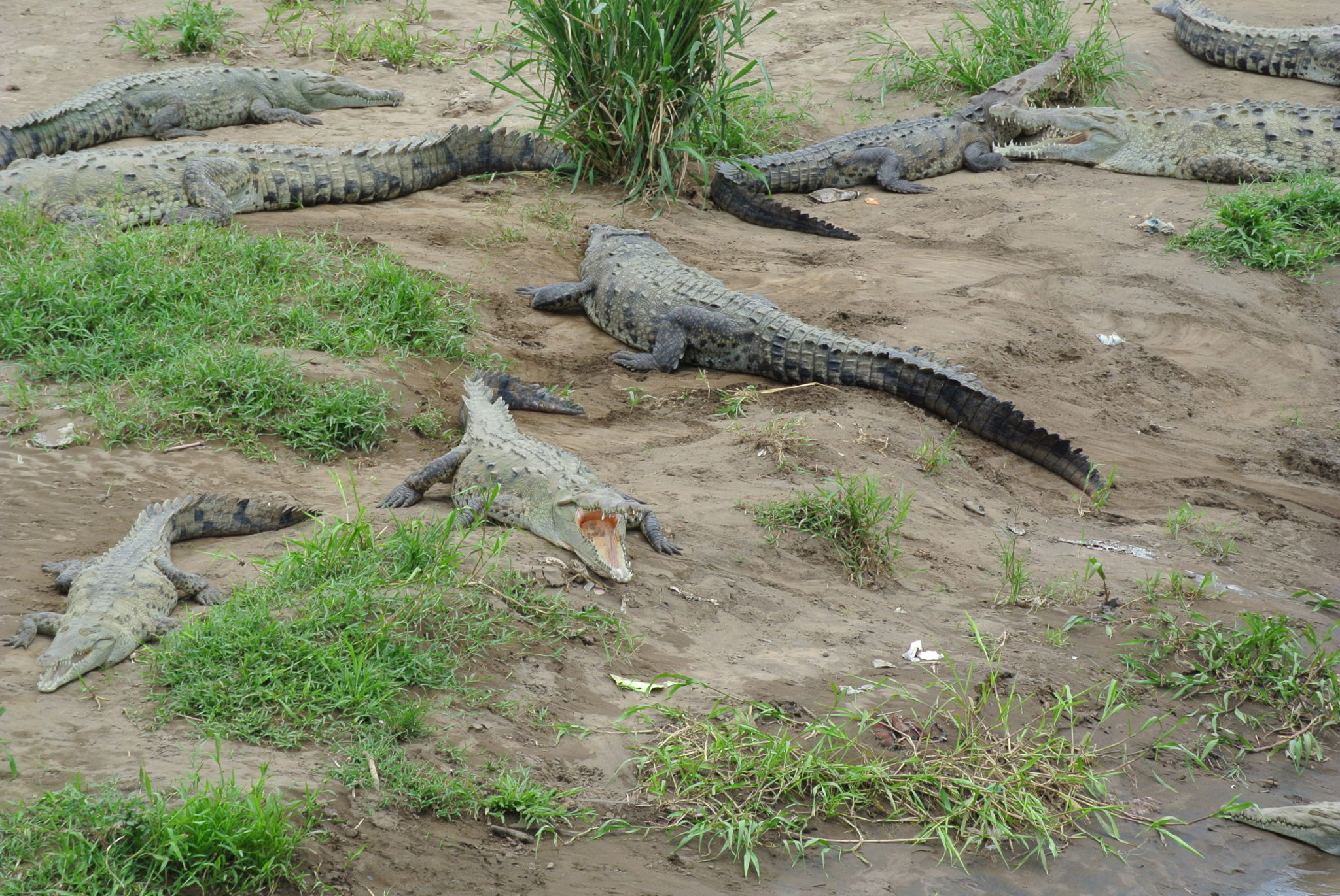 krokodillen Costa Rica